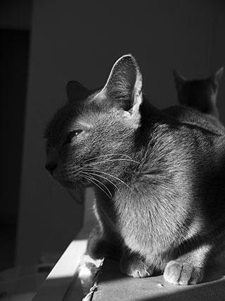 la chatterie du korat c leste adopter un chaton korat. Black Bedroom Furniture Sets. Home Design Ideas