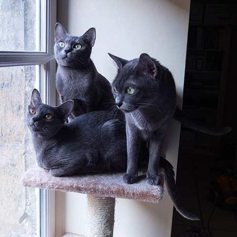 La chatterie du korat c leste levage de chats de race korat - Combien de portee par an pour un chat ...