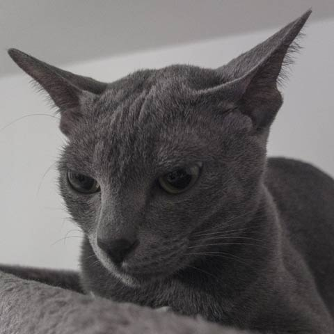 Le Korat, un chat attentif.